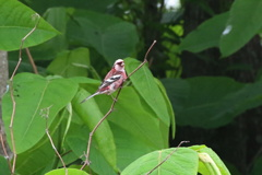 夏鳥のベニマシコ