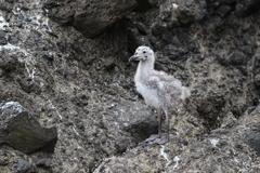 待ち侘びるオオセグロ鴎の雛