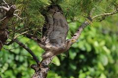 カンムリ鷲の拡翼