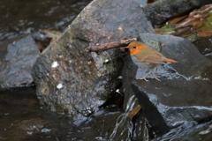 渓流のコマドリ