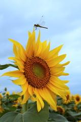 向日葵に蜻蛉