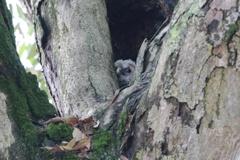 巣穴のフクロウ