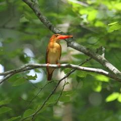 火の鳥 アカショウビン