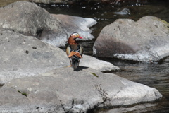 渓流のオシドリ