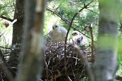 ハイタカ~巣中の雛~