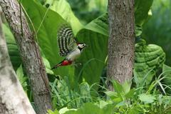 林間を飛ぶアカゲラ