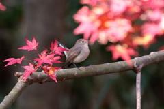 紅葉を愛でるニシオジロ