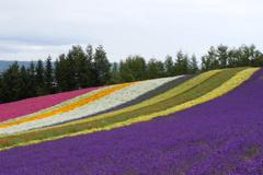 ラベンダの丘の彩