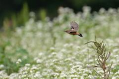 ソバ畑を飛ぶノビタキ