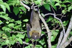 八重山大蝙蝠