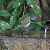 水飲み場のルリビタキ