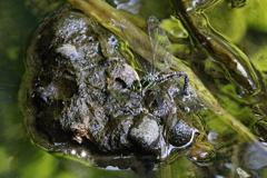 オオルリボシヤンマの産卵
