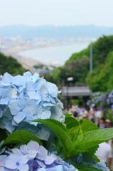 紫陽花と由比ヶ浜