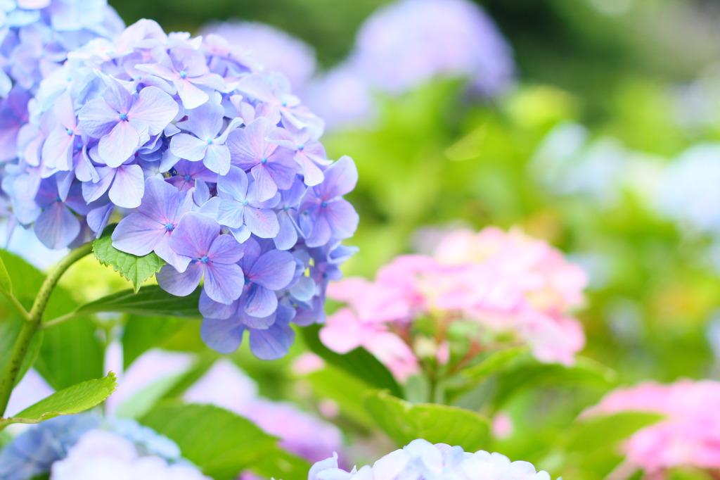 パステルな紫陽花