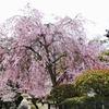 厳島神社敷地内の桜