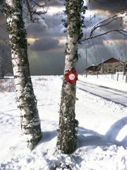 雪の白樺と赤い花