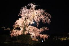 月を食べる桜