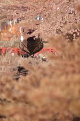 水の都の夜桜1