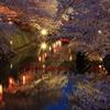 水の都の夜桜