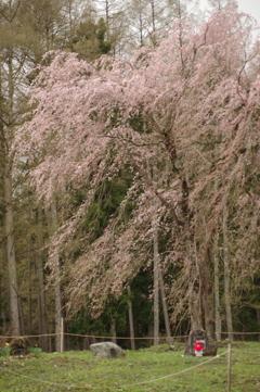 白馬貞麟寺の桜