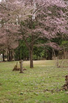 白馬貞麟寺の桜とカタクリ群製