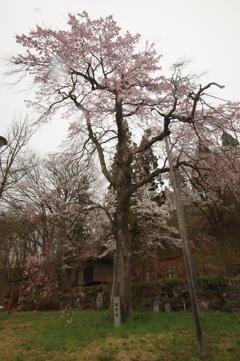 白馬岩岳轍念桜