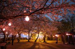 舞鶴公園 夜桜