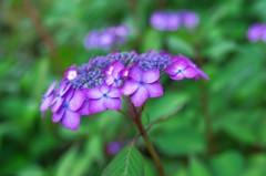 紫陽花 法安寺