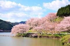 庭木ダムの桜