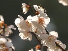 梅の花 鏡神社 2020