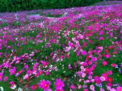 コスモス畑 in万博公園