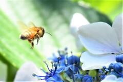 紫陽花とミツバチ