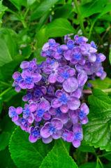 お多福紫陽花