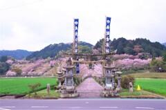 吉浦神社の桜