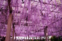 唐津城藤の花2