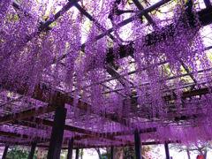 藤の花(唐津城)