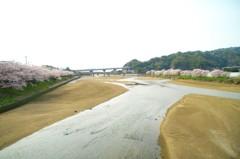 玉島川河口の桜並木