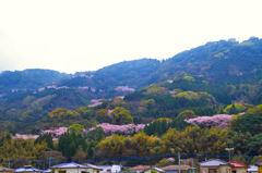 鏡山 道沿いの桜並木