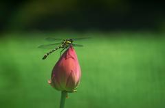コオニヤンマと蓮の花