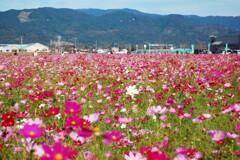 神崎駅北口のコスモス畑