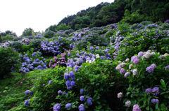 紫陽花2013(6)