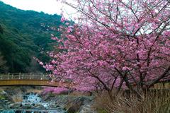 河津桜 見帰りの滝
