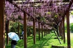 鏡山 藤の花