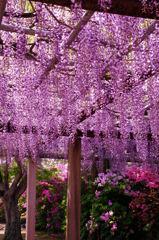唐津城藤の花3
