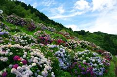 七山仁部 玉島川の紫陽花