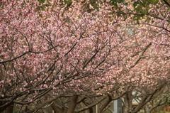 梅の花 2017年