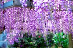 唐津市宇木 厳島神社の藤の花