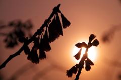 寒緋桜 ~夕日の中で