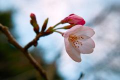 桜 2017年