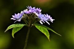紫陽花 2020